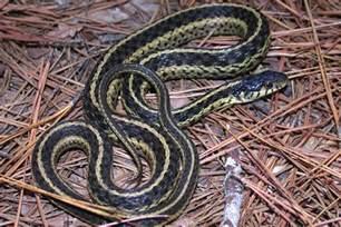 Garter Snake Belly Eastern Garter Snake