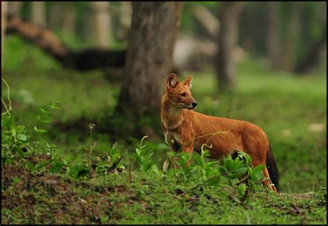 dhole puppy indian the dhole cuon alpinus also called the flickr photo