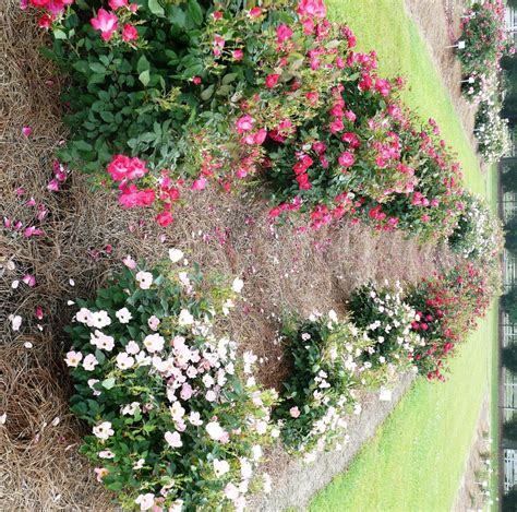 rose bed improve fall roses with late summer care lsu agcenter