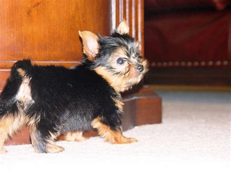 free puppies okc adorable and teacup yorkies ready oklahoma city usa free classifieds