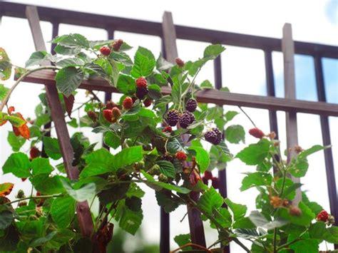 pianta di more in vaso orto sul balcone orto creare l orto sul balcone