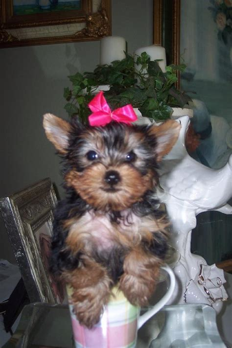 teacup yorkies for adoption in louisiana dogs metairie la free classified ads