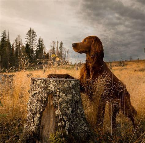irish setter dog food 520 best images about red dogs on pinterest irish