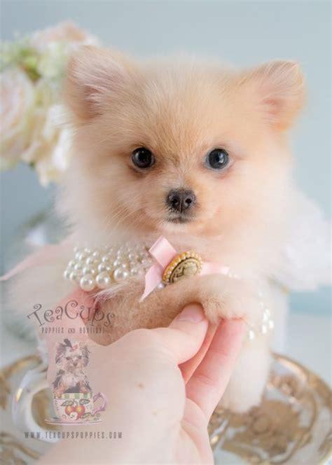 micro pomeranian puppies for sale tiny teacup pomeranians and pomeranian puppies for sale by teacups teacups puppies