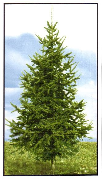 all nova scotia real christmas trees co op