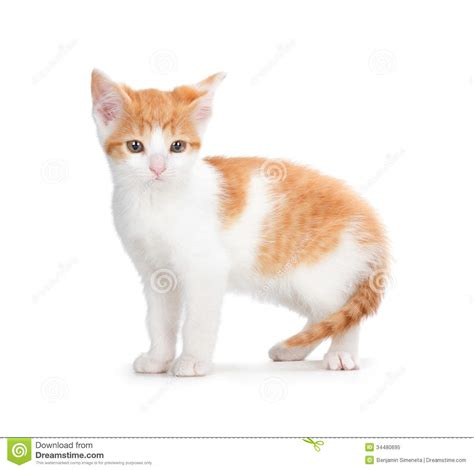 Kaos Kucing Blue Tabby Abstract orange kitten on a white background royalty free