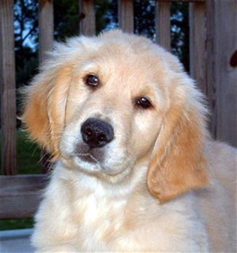 6 month golden retriever weight golden retriever photos pictures golden retrievers page 3