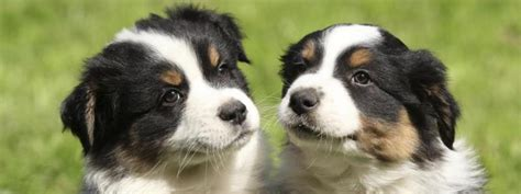 mini aussie puppies oregon mini aussie puppies in bend oregon 4k wallpapers