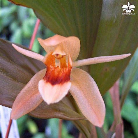 orchideen garten coelogyne affine x speciosa orchids orchidee orchideen