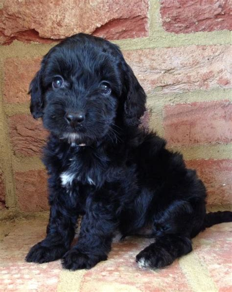 black cockapoo puppy black cockapoo puppy animals poodles black cockapoo and spaniels