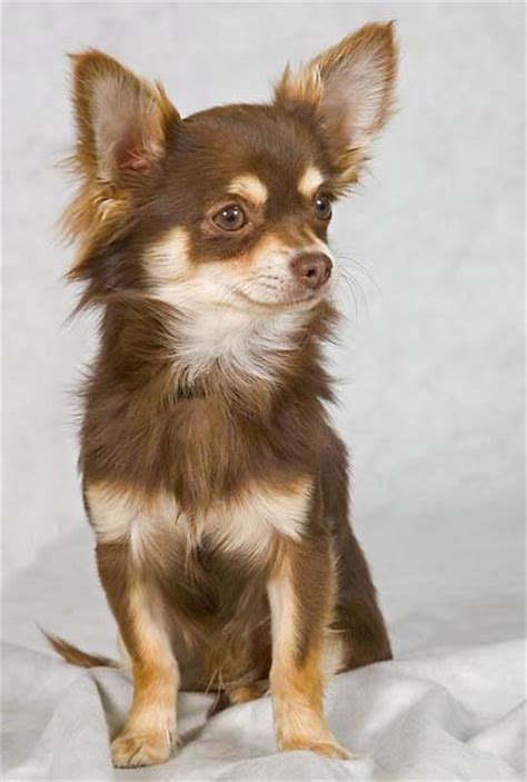 long hair chihuahua hair growth what to expect chihuahua l avis du v 233 t 233 rinaire choisir son chien