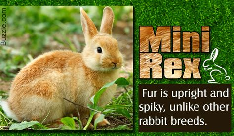7 Facts On Bunny Rabbits by Facts About Mini Rex Rabbits That Will Melt Your