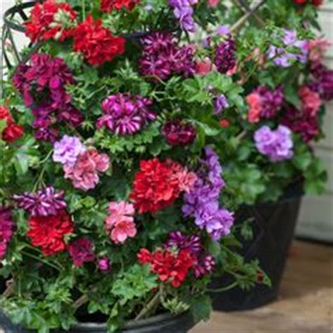 climbing geranium for side of house container gardening pinterest the o jays climbing and
