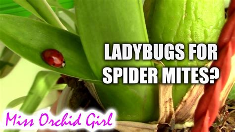 how to get rid of ladybugs inside house how to get rid of ladybugs inside my house 28 images how to get rid of ladybugs