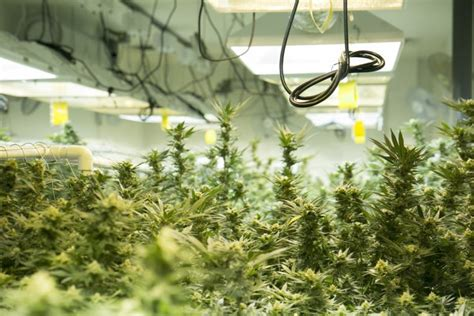 if a flower grew in a room how much electricity does it take to grow marijuana colo cities are finding out cpr