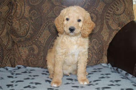 goldendoodle puppy names dusty has found his home his new name is crinkles f1b