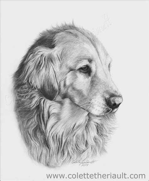golden retriever drawing charcoal pencil drawing animals www pixshark images galleries with a bite