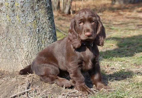 field springer spaniel puppies for sale springer spaniel puppies for sale design bild