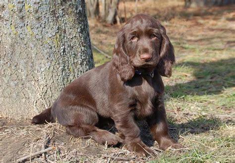 field spaniel puppies for sale field spaniel puppies for sale akc puppyfinder