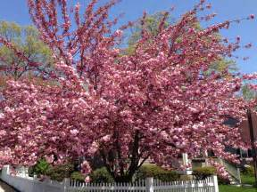 the gallery for gt names of pink flowering trees