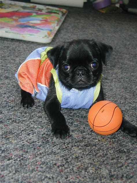 pug basketball 17 best images about pugs and all things fluffy on pug i want and