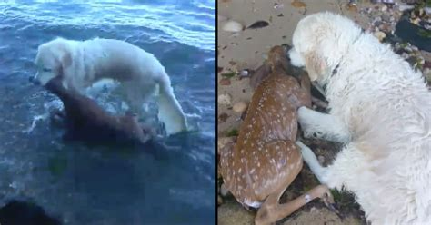 saves fawn saves fawn from drowning but it s what he does after that really has talking