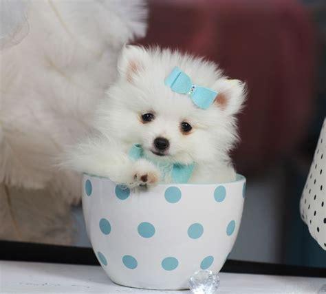 pomeranian cup tea 142 best teacup pomeranian puppies for sale images on teacup pomeranian