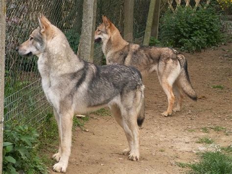 breeds that look like wolves wolf like breeds breeds