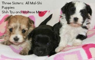 how big does a maltese shih tzu get how big do shih poos get hairstyle 2013