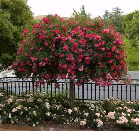 Landscape Ideas Using Knockout Roses 25 Best Ideas About Knockout Roses On What Is