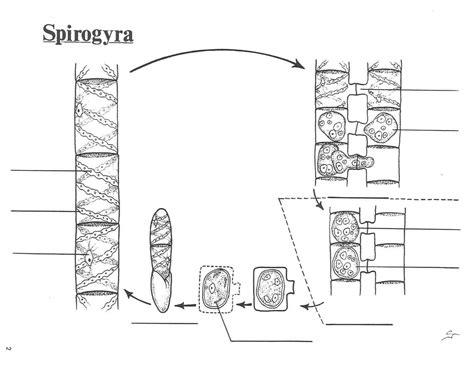 spirogyra reproduction diagram file spirogyra cycle pdf wikimedia commons