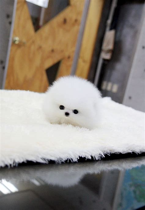 white pomeranian puppies for sale in oklahoma 25 best ideas about teacup pomeranian puppy on teacup dogs pomeranian
