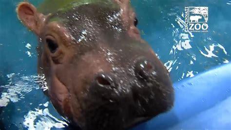 St Jude Home Giveaway 2017 Cincinnati - baby hippo fiona meets parents wztv