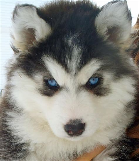 how much are siberian husky puppies aspen the siberian husky puppies daily puppy