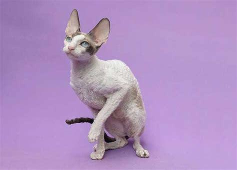 contoh deskripsi tentang kucing  bahasa inggris