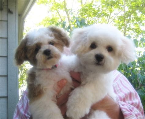 shichon difficult lillybits shichon puppies
