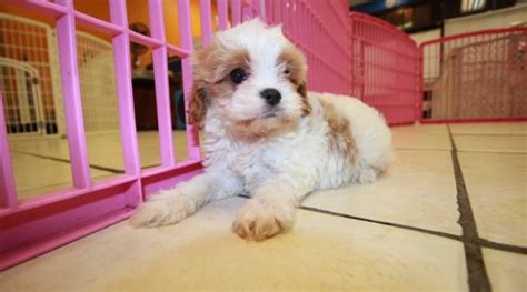 puppies for sale in atlanta stunning cavapoo puppies for sale in atlanta ga at puppies for sale local