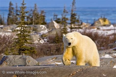 polar global warming hudson bay manitoba