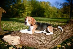 beagle on a log free image on 4 free photos