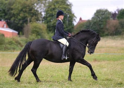 section d pony file welshcob jpg wikimedia commons