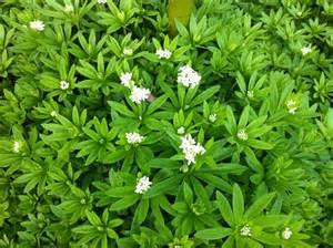 sweet woodruff galium odoratum yes to garden