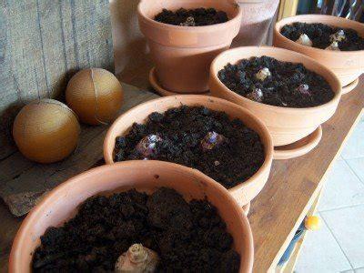 vasi per bulbi vasi per coltivare le bulbose pollicegreen