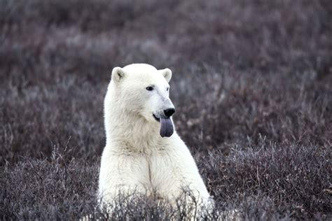 polar bears  hudson bay canada cindybaldhoffcom
