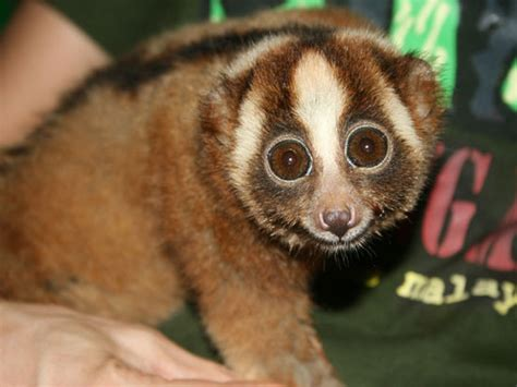 protecting primates  indonesia part  advocacy