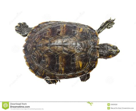 Turtle Top turtle top view royalty free stock photos image 25820028