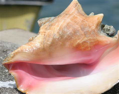 Cfmc Queen Conch Fmp