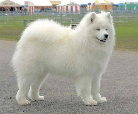 small white fluffy breeds small white breeds fluffy pet photos gallery zl2avvd3wl