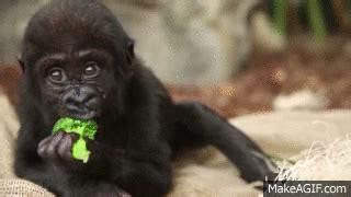ranger rick i wish i was a gorilla i can read level 1 books 7 gorilla gifs guaranteed to make you laugh
