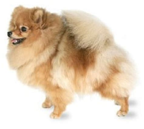 breeds similar to pomeranian top 10 smallest breeds in the world world most