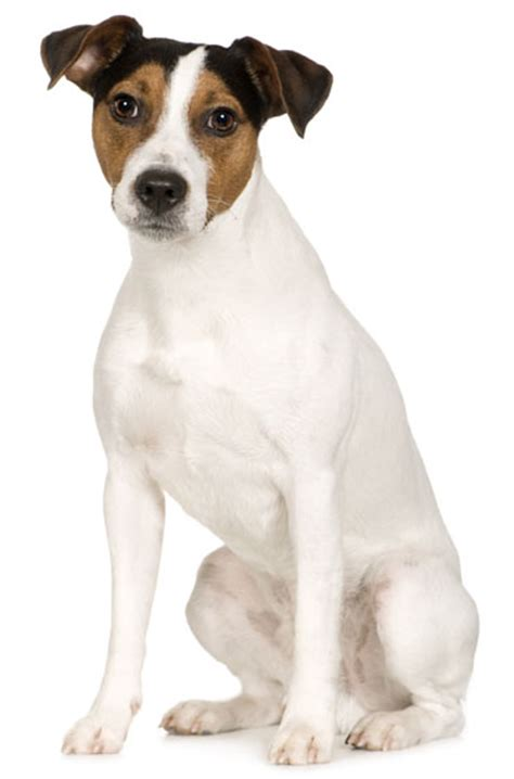 Parson Terrier Shedding by Parson Terrier Information Facts Pictures